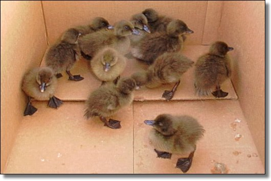 Little Duckies